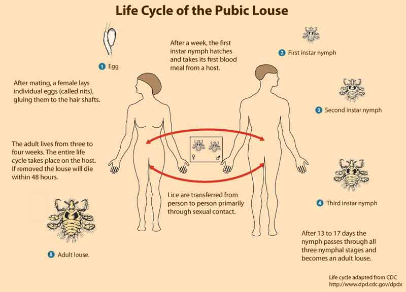 pubic-lice cause scabsmale genital
